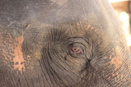 close up of the old experienced face of an Asian elephants face and wise eyes and wrinkled face at an elephant park, Northern Thailand, Southeast Asia Stock Photo