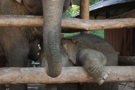 a young baby elephant calf in a timber pen with its mother, playing and exploring, at an elephant park, Northern Thailand