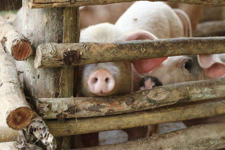 large group of pigs playing together an waiting to be fed in their timber old farm style pig pen on a farm in Northern Thailand Banco de Imagens