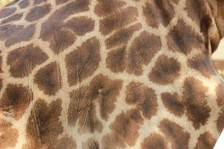 close up of a giraffes skin and patterned fur on a large male giraffe Stok Fotoğraf