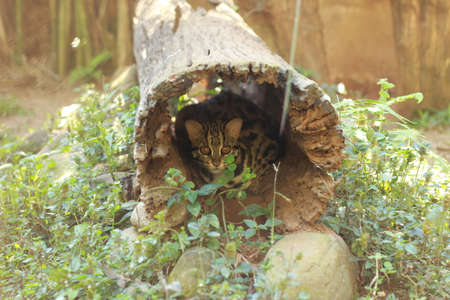 a young small Wild leopard cat (Prionailurus bengalensis) pacing in its cage in a small zoo in Northern Thailand, Southeast Asia Stok Fotoğraf