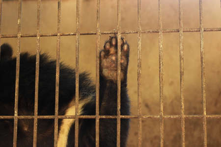 Portrait of a black asian sun bear in its cage pawing at the cage door bars on a hot day in a zoo in Northern Thailand, Southeast Asia