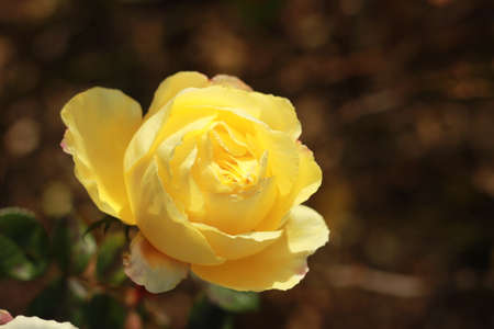 close details of a soft bunch of light yellow rose flowers blooming on the bush in a rose garden, Victoria, Australia