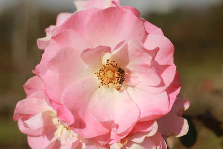 close details of a soft bunch of light pink rose flowers blooming on the bush in a rose garden, Victoria, Australia