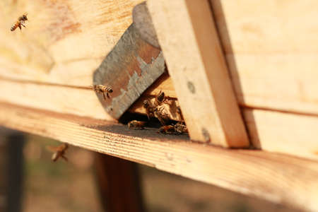 groups of introduced honey bees flying into their timber hive boxes to feed the colony on a farm after collecting pollen from nearby plants and flowers, rural Australia