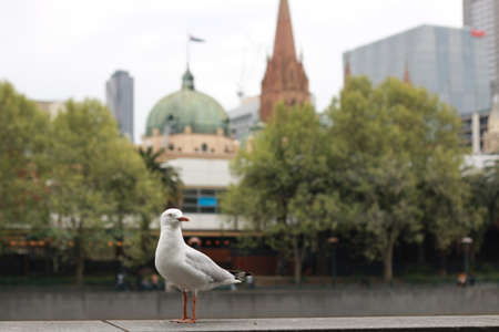 playful singel seagull posing by the river in the CBD inner city Melbourne with city buildings and Flinder's street station in the background, watching busy city life Stockfoto