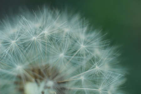 close up macro showing the soft, fragile, delicate white petals and flower grouping on a dandelion in a typical family garden Stok Fotoğraf