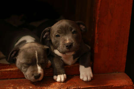 cute young 6 week old Staffordshire terrior pups playing in their family backyard, sleeping and resting, having fun with their siblings.
