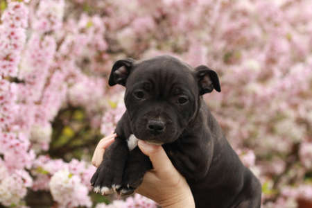 cute young 6 week old Staffordshire terrior pups playing in their family backyard, having fun with their siblings