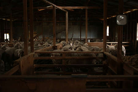 sheep waiting overnight to be shorn in an old traditional timber shearing shed on a family farm in rural Victoria, Australia
