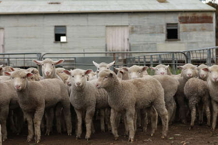 Flocks of young unshorn lambs seperated, in the sheep yards, from their parents, out the front of the shearing sheds waiting to be shorn, on a small family farm in rural Victoria, Australia