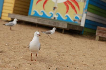 站立在海滩的一些海鸥在五颜六色的海滩明亮的被绘的夏天假日沐浴箱的前面沿一个沙滩在一个晴天,布赖顿海滩,墨尔本维多利亚