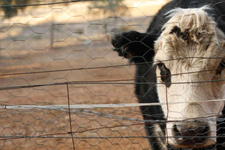 Black and White Bawldy cow in a yard looking through a fence with no grass to eat because of drought in New South Wales, Rural Australia Stockfoto