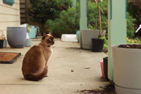 cute curious tan and brown Burmese cat in the front yard of its typical family home watching the garden on a sunny day in rural Australia