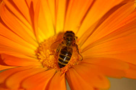 Macro of a yellow typical Honey Bee cross pollinating an orange flower in a rural garden, New South Wales, Australia