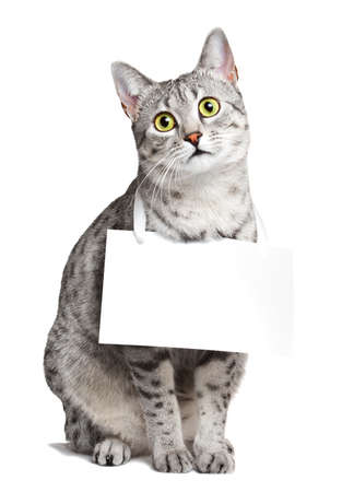 advertizing: Cute Egyptian Mau cat with a sign around her neck
