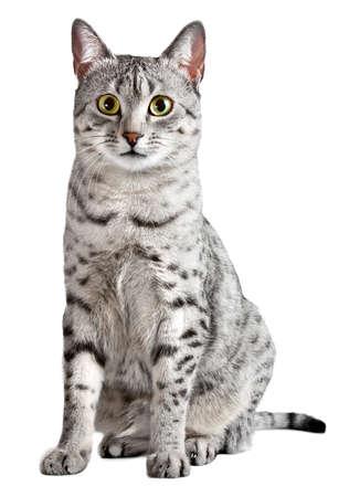 귀여운 이집트 마우 고양이는 카메라를 똑바로 찾고