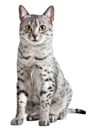 egyptian: A cute Egyptian Mau cat Looking straight at camera