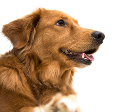 golden: A happy Golden Retriever mix