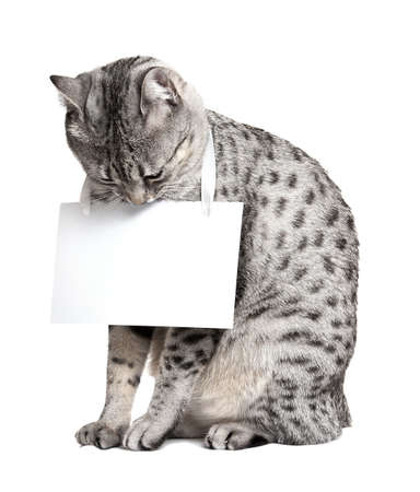 Cute cat looking down at a blank card. Cat is an Egyptian Mau.