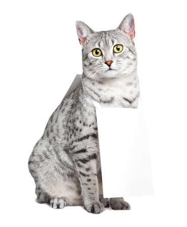작은 샌드위치 보드를 입고 귀여운 이집트 마우 고양이.