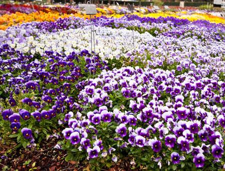 팬지 꽃의 여러 종류가 꽃밭에서 성장