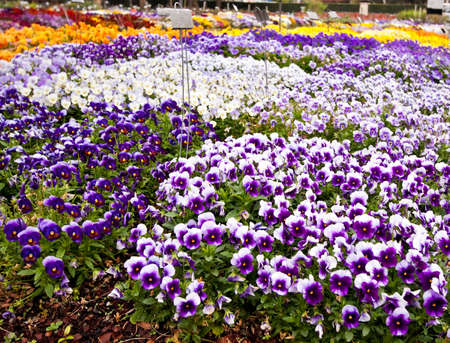 pansies: Multiple varieties of pansy flowers growing in flowerbeds Stock Photo
