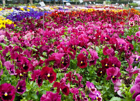 pansy: Multiple varieties of pansy flowers growing in flowerbeds Stock Photo
