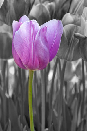 A selective color tulip in a garden
