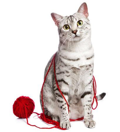 귀여운 이집트 마우 고양이는 그녀의 주위에 감싸 인 빨간색 원사와 함께 앉아 스톡 콘텐츠