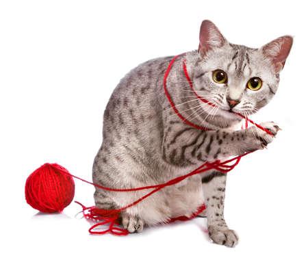 Een leuke Egyptische Mau kat speelt met een rode bal van garen.