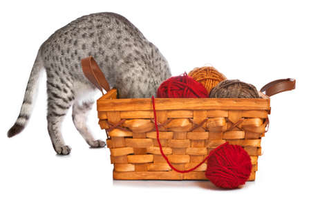 A curious Egyptian Mau cat puts her head in a basket with red, yellow and brown yarn.  The basket is wicker