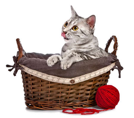 interested: A cute Egyptian Mau sits in a wicker basket with a red ball of yarn in front.  She is licking her nose. Stock Photo