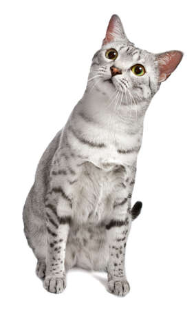A cute Egyptian Mau cat sitting, tilts her head curiously at the camera