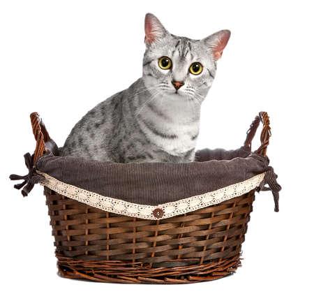 귀여운 이집트 우행 품종 고양이는 갈색 고리 버들 바구니에 앉아. 그녀는 직접 카메라를 찾고 있습니다 스톡 콘텐츠
