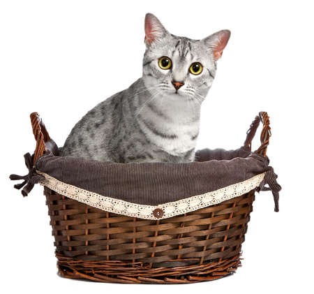 A cute Egyptian Mau breed cat sitting in a brown wicker basket.  She is looking directly at the camera photo