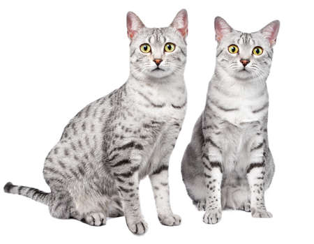 이집트 마우 품종 고양이 한 쌍의 함께 앉아 카메라 흰색 배경에 직접보고