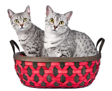 A pair of Egyptian Mau cats sit in a red and brown woven basket   Both are looking directly at camera   White background