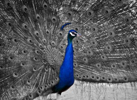 A Beautiful Male Peacock Displays his Plumage   Selective Color on the bird