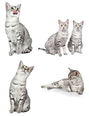 grey cat: composite group of egyptian mau cats in various poses