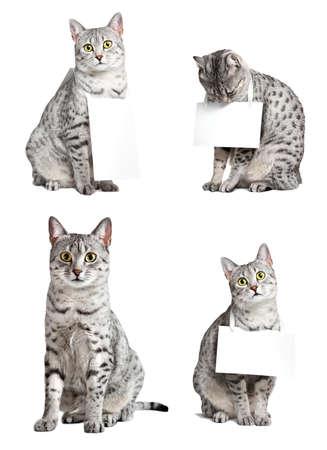 다양한 포즈 3 마리의 고양이의 이집트 마우 고양이의 복합 그룹이 표지판을 들고 스톡 콘텐츠