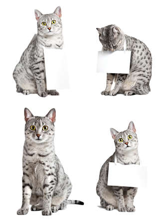 composite group of egyptian mau cats in various poses   Three cats are holding signs photo