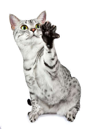 An active Egyptian Mau cat stretches her paw out to play photo