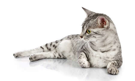An interested Egyptian Mau cat looks to the left while lying down photo