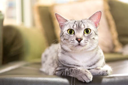 egyptian: A comfortable Egyptian Mau cat relaxes on a leather ottoman.  Shallow depth of field is focused on the eyes