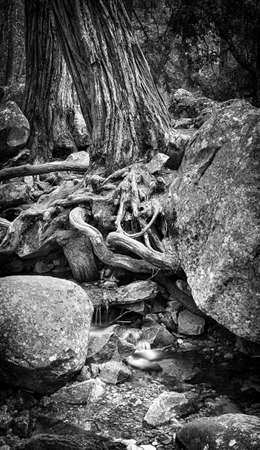 yosemite national park: A large tree in a forest with roots growing around large stones over a small stream