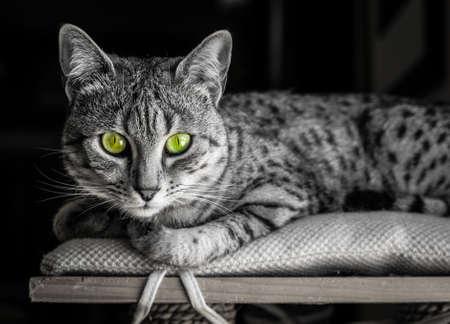 카메라를 똑바로보고 놀라운 녹색 눈을 가진 이집트 마우 고양이의 흑백 이미지