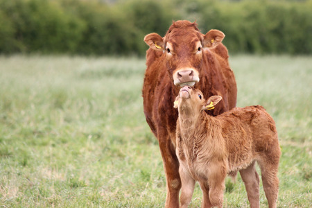 calves: Mother Cow with baby calf in a field. Stock Photo