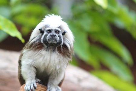 looking into camera: Top in cotone Tamarin scimmia in un albero in cerca fotocamera