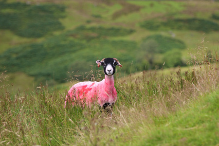 A sheep with a pink dye on its fleece to help identify it in green field in England.